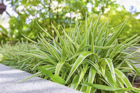 Caring For Spider Plants In Gardens