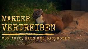 Marder Im Dach Vertreiben : marder vertreiben von auto haus und dachboden schlauer wohnen ~ Orissabook.com Haus und Dekorationen