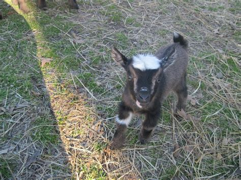 laughing duck farm baby goat names  farm friend friday