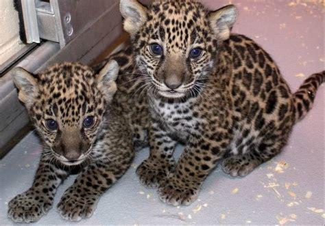 Jaguar Cubs Born At Milwaukee Zoo Bring New Genes