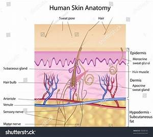 Human Skin Crosssection Labeled Stock Vector 72658105
