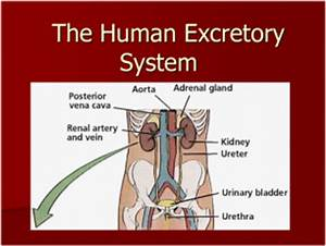 The Excretory System Period 1