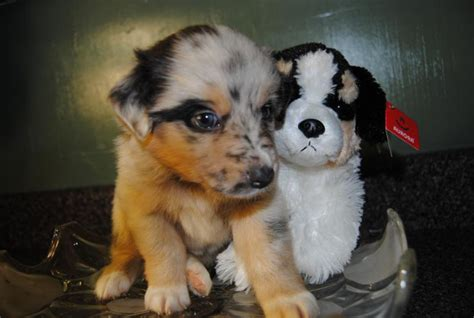 Shamrock Rose Aussies - SCROLL DOWN FOR AVAILABLE PUPPIES