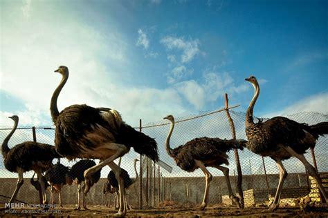 ostrich farming  iran