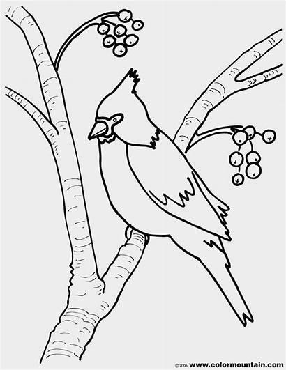 Cardinal Coloring Cardinals Pages Virginia Line Drawing