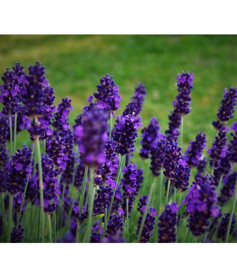 Bilder Mit Lavendel by Lavendel Dehner