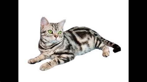 Les Chats  L'american Shorthair Funnycattv
