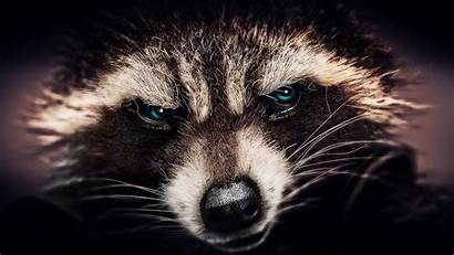 Raccoon Rocket Wallpapers Panda Trash Guardians Galaxy