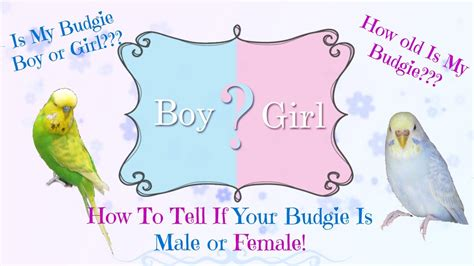 how to tell if your budgie is male or female as well as age youtube