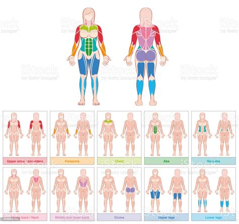 See more ideas about anatomy, anatomy reference, man anatomy. Muscle Groups Of A Female Body Chart With Largest Muscles Ten Colored Labeled Cards Isolated ...