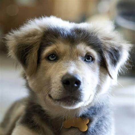 dog breeds mixed  husky barkpost