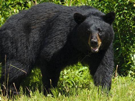 Black Bears Found In House In Leitrim  Leitrim Observer