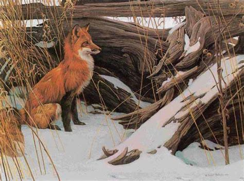 wily  wary red fox  wildlife artist robert bateman