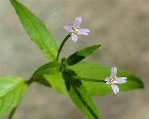 Small, Flowered, Willowherb