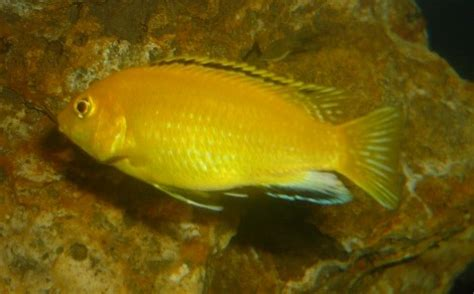 labido jaune labidochromis caeruleus