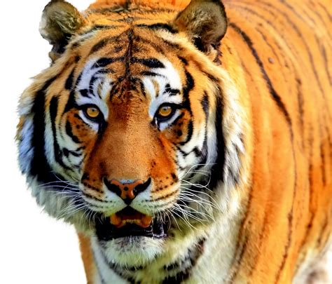 Tiger Photo by Brownish Orange Tiger Colors Photo 34705056 Fanpop
