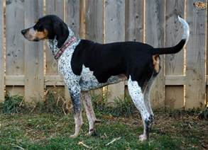 active bluetick coonhound as pet about pet life