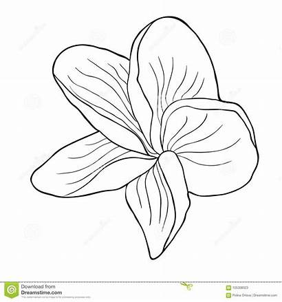 Plumeria Exotic Flower Hawaiian Coloring Drawing Asian