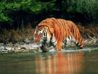 Tiger Bengal Wallpapers Backgrounds