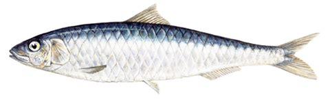 cuisiner du carrelet sardine marine stewardship council