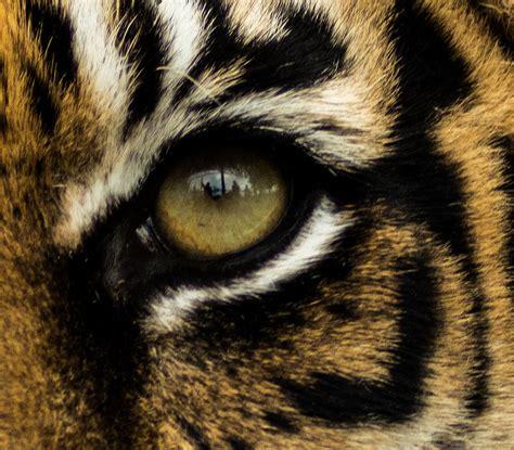 tiger eye tiger eye wallpapern