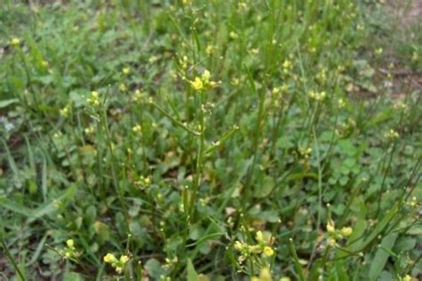 http://luirig.altervista.org/flora/taxa/index2.php?scientific-name=diplotaxis+viminea