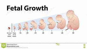 Fetal Growth Stock Vector  Illustration Of Embryo  Baby