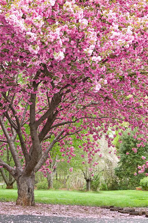 trees that pink flowers ladies of virtue journal hope deferred