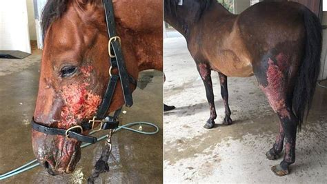 wa fires burnt horses transferred  murdoch veterinary