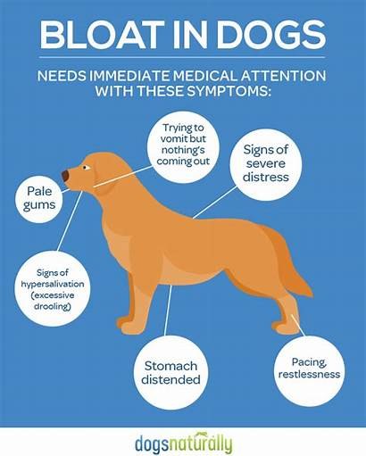 Bloat Dogs Dog Causes Stomach Preventing Naturally
