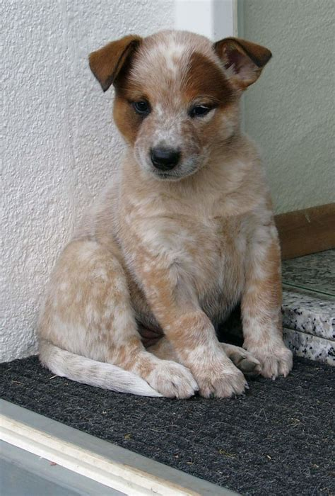 australian cattle dogs bluered heelers images