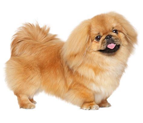 pekingese dog breed health history appearance
