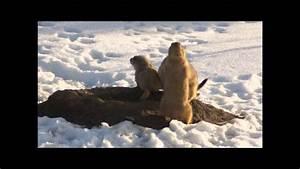 Prairie Dogs Hug and Kiss - YouTube