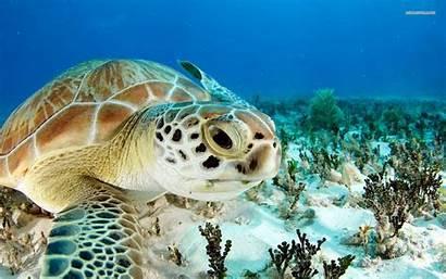 Sea Turtles Wallpapers Turtle Definition Pixel