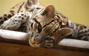 Ocelot Full HD Wallpaper and Background | 1920x1200 | ID ...