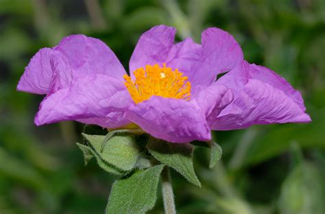 the picture of flower file cistus incanus flower side aka jpg wikimedia commons