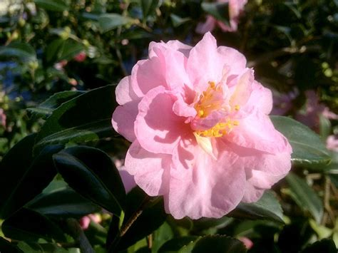 camellia zone 5 31 best images about garden camellias zone 6 cold hardy on pinterest sun shrubs and the