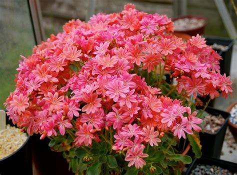 Burvīga ziedu levīzija - stādīšana un kopšana