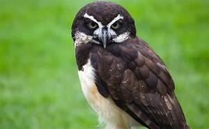 Spectacled Owl :: City of Edmonton