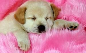Adorable sleeping puppy HD desktop wallpaper : Widescreen ...