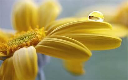 Flowers Water Yellow Nature Drops Field Macro