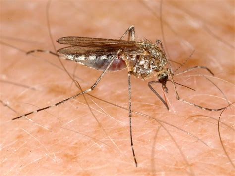 images for mosquito heat extends mosquito season west nile threat in montana