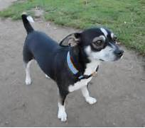 Chihuahua Terrier Mix Black And White
