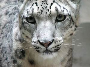 File:Snow leopard face.jpg - Wikipedia