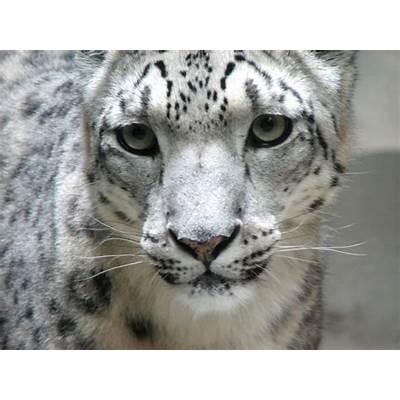 EndangeredSpeciesBiomesProjects - Snow Leopard