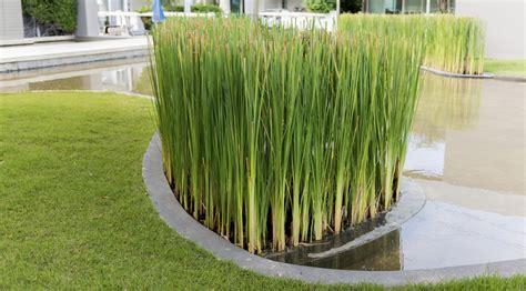 planter un papyrus en pot papyrus planter et bouturer ooreka