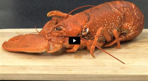 comment cuisiner un homard comment cuire un homard