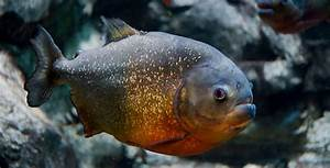 Piranhas – Fish Breeds – Information and pictures of ...