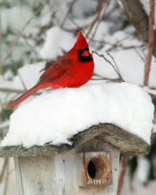 Winter Red Cardinal Bird