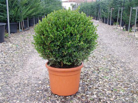 bosso in vaso arte topiaria pistoiese buxus sempervirens palla 25 30